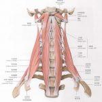 肩こり改善には首の動きが重要!!~斜角筋と肩こり~