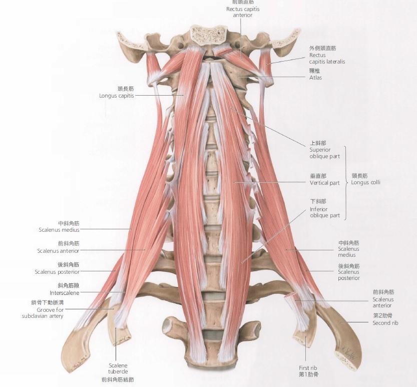 肩こり改善には首の動きが重要!!~斜角筋と肩
