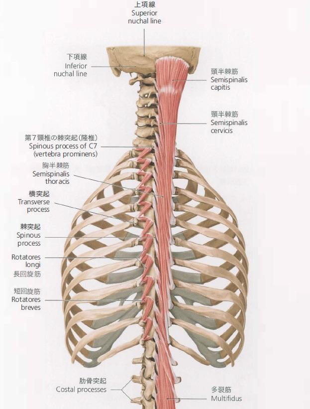 肩こりと頭の位置関係~頭を支える半棘筋~