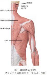 図1 肩周囲の筋肉
