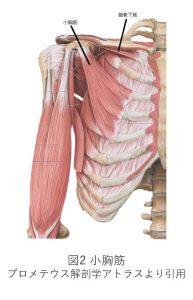 図2 小胸筋