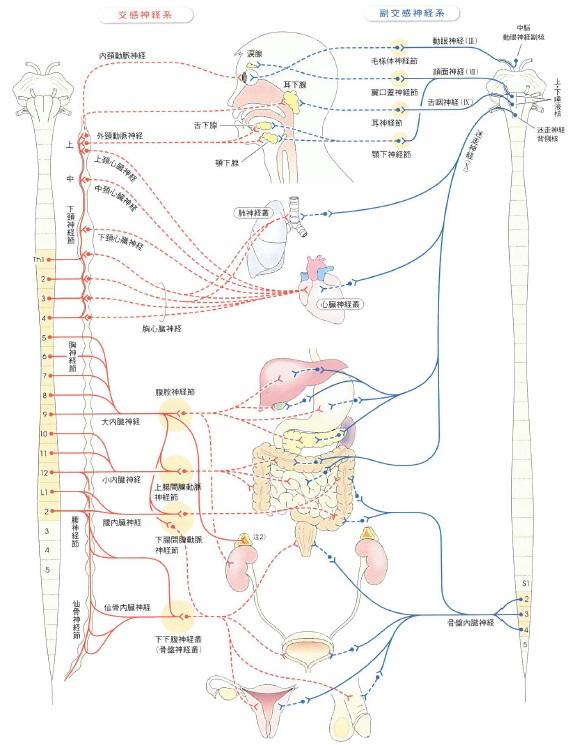 自律神経 解剖