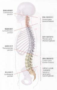 脊柱 彎曲