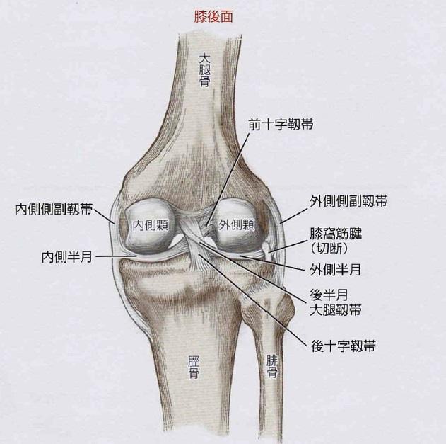 膝を支える靭帯~膝にはどういう靭帯があるのか?~
