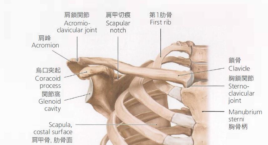 肩周囲の骨~肩こりに関連する鎖骨の役割とは~