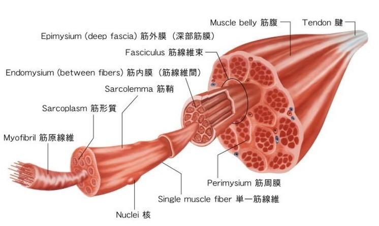 2ヵ月ダイエットのコツ【筋肉を使うためのミネラル!!~○○の重要性~】